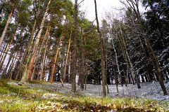 Pines, piceas, light and snow royalty free stock image