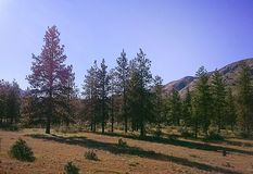 Pines. Pine forest in Eastern Washington stock photos