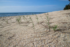 Pines. Pine trees on the sand Royalty Free Stock Photos