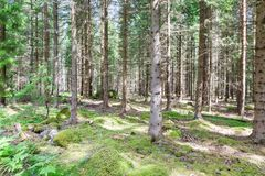 Pines in Pineforet. Various Pines in a Tightly Grown Pine Forest Stock Images