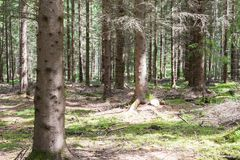 Pines in Pineforet. Various Pines in a Tightly Grown Pine Forest Stock Photography