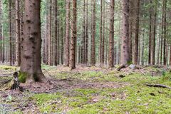 Pines in Pineforet. Various Pines in a Tightly Grown Pine Forest Stock Photo