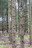 Pines in Pineforet. Various Pines in a Tightly Grown Pine Forest Royalty Free Stock Photos