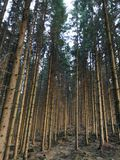 Pines. Trees forest Royalty Free Stock Image