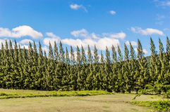 Pines planterade i rader. Arkivbild