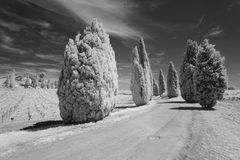 Pines in the Provence. Landscape in the Provence, south of France, showing pines seaming a street under a dark sky. Blackandwhite, taken in infrared light Royalty Free Stock Photo