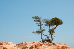 Pines Royalty Free Stock Photo