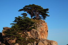 Pines on the rocks. Pine trees, which grow on bare rocks. Photo taken in Primorsky Krai, Russia Stock Photography