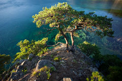 Pines on a rocks at the sea in the morning light Royalty Free Stock Photo
