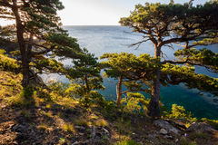 Pines on a rocks at the sea in the morning light Stock Image