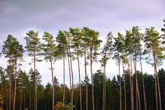 Pines in a row in forest. Pines standing in a row in forest Stock Photography