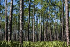 Pines and Saw Palmettos. Planted pines and a saw palmetto understory Royalty Free Stock Images