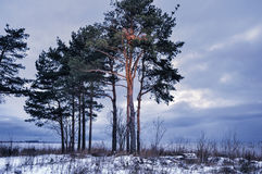 Pines on seacoast Royalty Free Stock Image