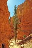 Pines in a Shaded Canyon Trail Stock Photo