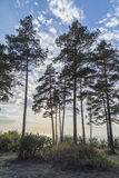 Pines on the shore against the blue sky Royalty Free Stock Photos