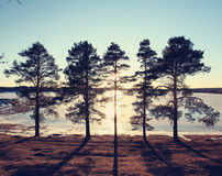 Pines on the shore of a frozen lake Royalty Free Stock Photo