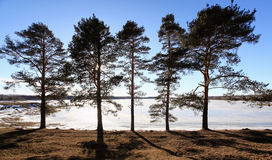 Pines on the shore of a frozen lake sunset Stock Photo