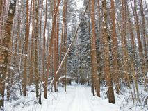 Pines and skitrack in the wintertime. Royalty Free Stock Images