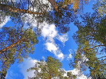Pines... The sky... Royalty Free Stock Photos