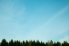Pines an sky. The tops of the pine trees on blue sky background Royalty Free Stock Photo