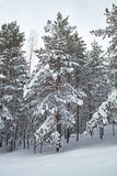 Pines in snow Stock Image
