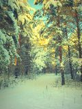 Pines snow covered Royalty Free Stock Image