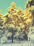 Pines snow covered Stock Photos