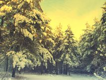 Pines snow covered Royalty Free Stock Photo