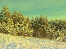 Pines snow covered Royalty Free Stock Photos