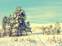 Pines snow covered Stock Photo
