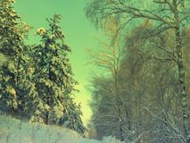 Pines snow covered Royalty Free Stock Photography