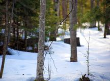 Pines and snow during winter snowing trees Royalty Free Stock Image