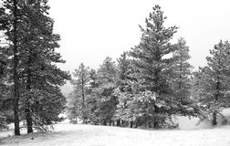 Pines and Snowdrifts During a Storm in the Forest Stock Photos