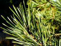 Pines. Spiky spikes of the pinetree Royalty Free Stock Image
