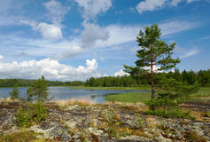 Pines on stone coast. Coast of Ladoga lake with several pines against the beautiful sky Royalty Free Stock Images