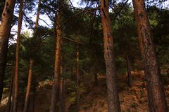 The pines and the stones in the mystery colored autumn forest. In the sunset time near Madrid, Spain. Valsain`s forest `La boca del asno` the fonderful plays to Royalty Free Stock Photos