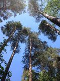 Pines stretch into the sky. Pines stretch out into the sky, in a pine forest, above the blue and clear sky. It seems that the pines merge in the sky with the sky royalty free stock photography