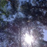 Pines stretch into the sky. Pines stretch out into the sky, in a pine forest, above the blue and clear sky. It seems that the pines merge in the sky with the sky royalty free stock photos