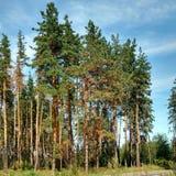 Pines. Royalty Free Stock Photos