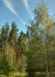 Pines. Royalty Free Stock Image