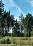 Pines. Stock Photo