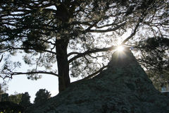 Pines and the sun Royalty Free Stock Photo