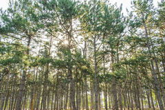 Through the pines sunlight breaks through. Dawn in the Pine Forest Royalty Free Stock Images