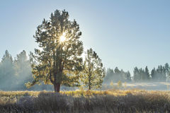 Pines at sunrise Stock Photography