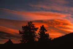 Pines at Sunset. Pine trees are silhouetted agaist a dramatic sunset Royalty Free Stock Photos