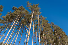 Pines Royalty Free Stock Photos
