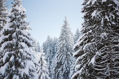 Pines on top of the mountain covered with snow at sunrise stock image