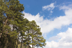 Pines tree against the blue sky Royalty Free Stock Photography