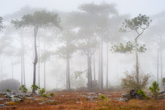 Pines tree in the mist Stock Image