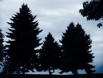 Pines Trees. Silhouette of pine trees against blue dusk sky Royalty Free Stock Photo